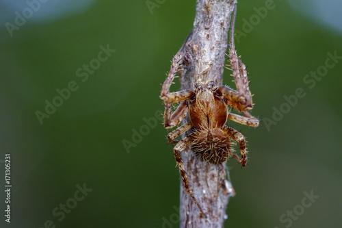 Plakat Obraz Eriophora sp cf Novakiella lub Orb-tkactwo Pająk lub Kula Weaver (Novakiella trituberculosa) na suche gałęzie. Owad zwierzę
