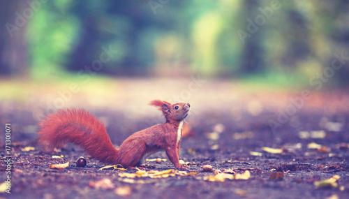 Zdjęcie XXL Jesień w parku - wiewiórka