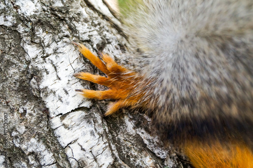 Foto op Canvas Eekhoorn Red paw of forest squirrel