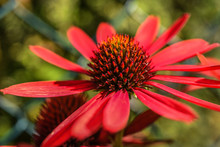 Red Coneflower Blooming In Garden, Summer Sunny Day.