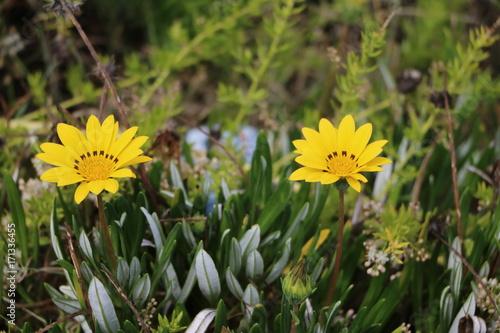 Foto  Blooming Gazania Hybride at the coast in Australia