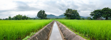 Green Rice Field In Local Plac...