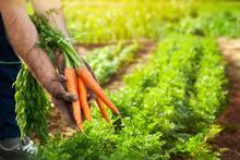 Carrots In Farmer Hands. Carro...