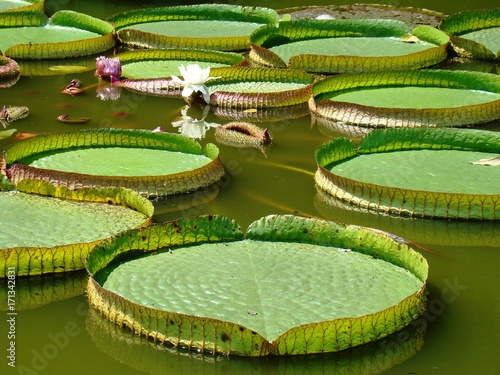 Photo Stands Water lilies Water Lily Large Leaves Floating On Water During Sunny Day