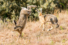Two Hare Jumping And Fighting