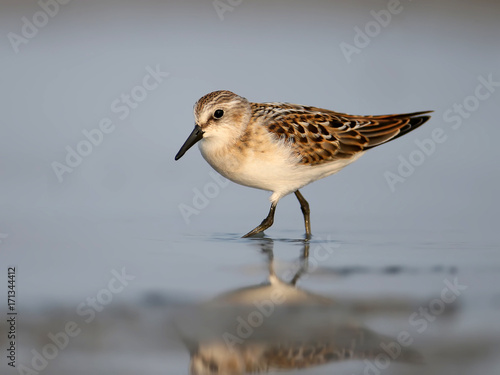 Fototapeta The little stint (Calidris minuta) feeding on shore