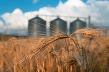 Field With Grain Silos For Agriculture