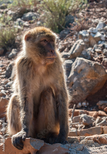 The monkey sits on the rocks and looks at someone