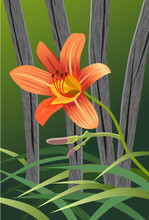 Orange Tiger Lily Fence Illust...
