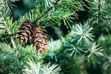 Two Bumps On A Branch Of Green Spruce. Lush Spruce Branches With Cones Background.