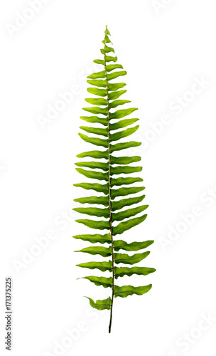 Boston fern leaves isolated on white background