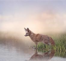 Fennec Fox Near Water