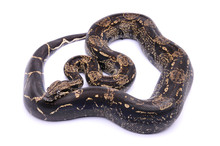 Boa Constrictor Imperator IMG
