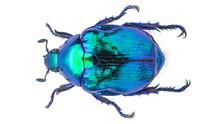 Callistopopillia Davidis