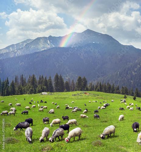Keuken foto achterwand Schapen sheep on the mountain Pip Ivan Marmarosh