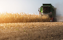 Harvesting Of Corn Field With ...