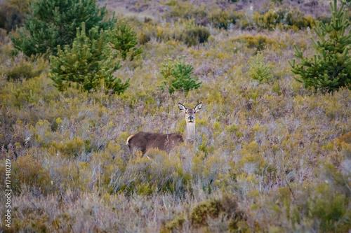 Female deer looking at camera in the bush Poster