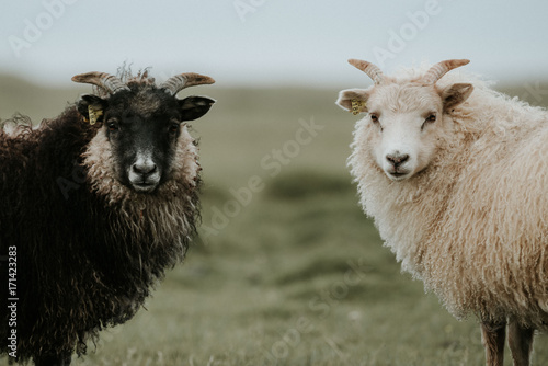 Portrait of sheep standing on grassy landscape