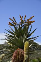 Aloès De Montagne, Aloe Marlothii