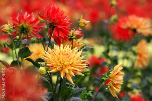Foto  Dahlie - Kaktusdahlie - Hybride Sorte Sultan Blüten