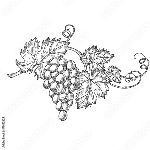 Hand drawn vector illustration of branch grapes Fotobehang