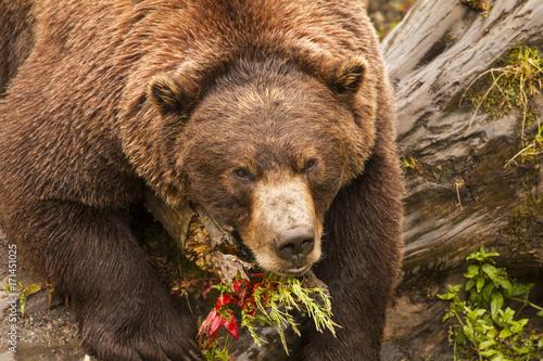 Fotografie, Obraz  Brown Bear, Alaska