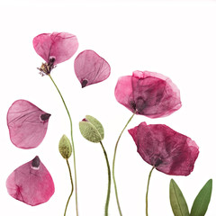 Pressed and dried poppies flower background