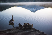 High Angle View Of Duck And Ducklings At Trillium Lake