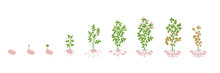 Solanum Tuberosum Potato Vector Illustration Growing Plants. Determination Of The Growth Stages Biology