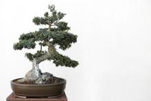 Olive (Olea Europaea) Bonsai O...