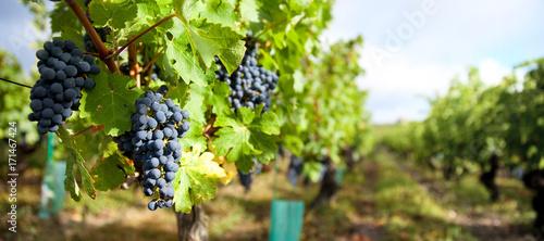 Grappe de raisin dans les vignobles français