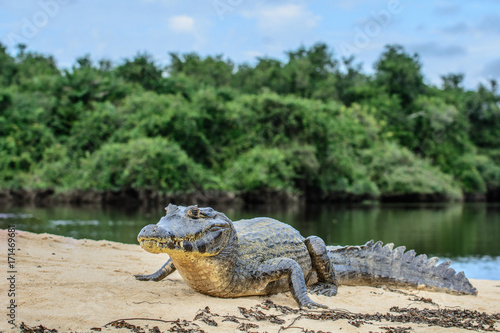 Foto op Canvas Krokodil A large caiman, Caiman latirostris, walks down the beach to enter the Cuiaba River.