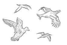 Set Of Vector Wildfowl