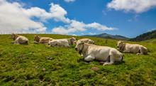 Valle De Aézcoa, Selva De Irati, Navarra, Vacas Pirenaicas, España