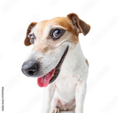 Obraz confident dog muzzle staring to you! Smiling happy Jack Russell terrier. White background - fototapety do salonu