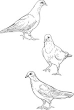 Three Isolated Pigeons. Coloring Page.