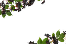 Clusters Fruit Black Elderberry (Sambucus Nigra) And Leaves On A White Background. Common Names: Elder, Black Elder, European Elder And European Black Elderberry. Top View, Flat Lay