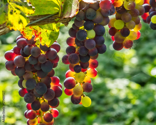 Wine Grapes on the Vine  Fototapete