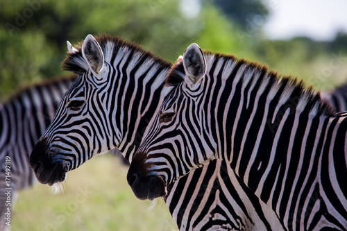 Profile of Two Zebras Heads Canvas Print