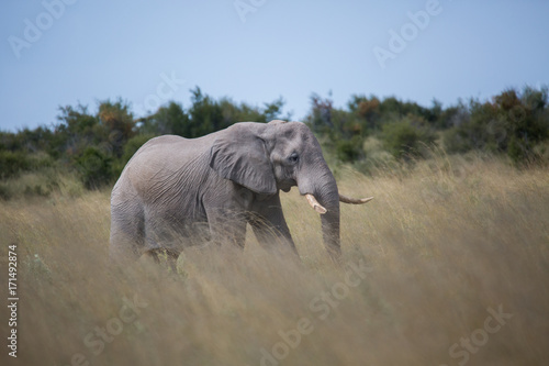 Photo  Elephant in tall grass