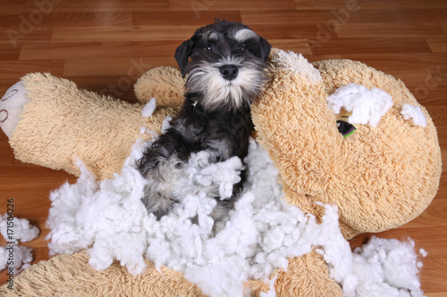 Bad naughty schnauzer dog destroyed plush toy Fotobehang