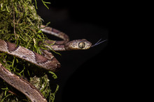 Snake With Outstretched Tongue