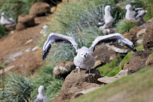 Pinturas sobre lienzo  Black Browed Albatross, thalassarche melanophris, Falkland Islands, Islas Mavina
