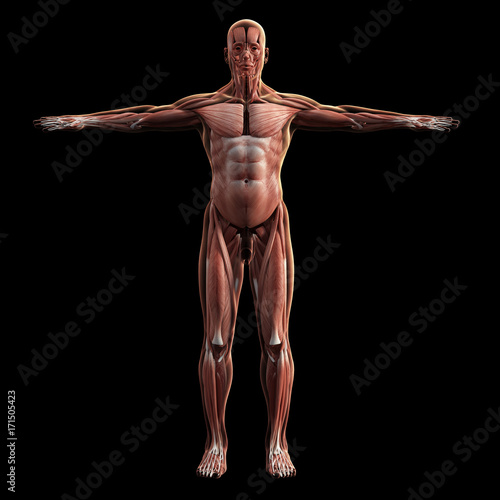 Digital model of muscular system, 3d rendering, black background Tablou Canvas