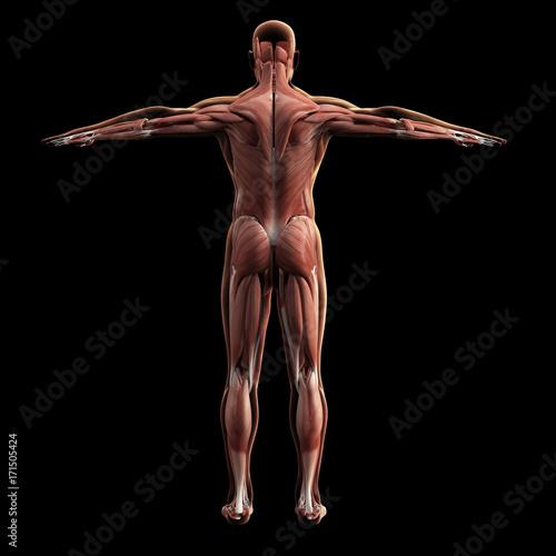 Fotografie, Tablou  Digital model of muscular system, 3d rendering, black background