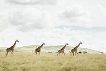 A Tower Of Giraffe Along The H...