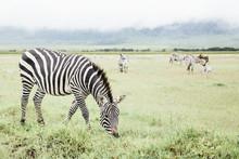 Zebra Eating Grass