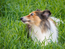 Shetland Sheepdog Laying In Gr...