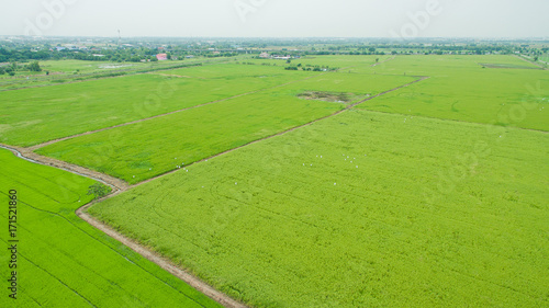 Fototapety, obrazy: Aerial  view from flying drone of  Field rice  with landscape green pattern nature background