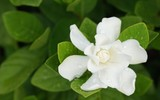 White Gardenia Flower (Gardenia jasminoides) with rain drops